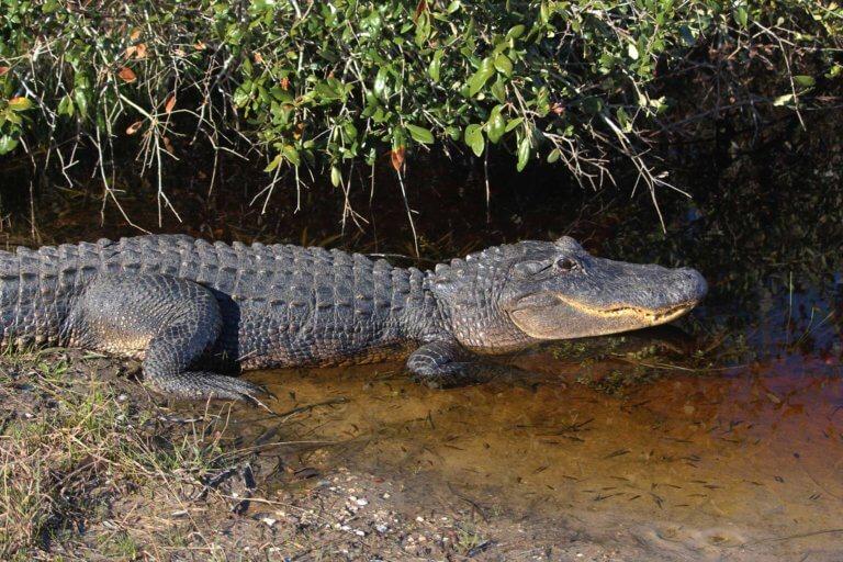 Texas Aligator