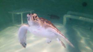 Sea Turtle South Padre Island